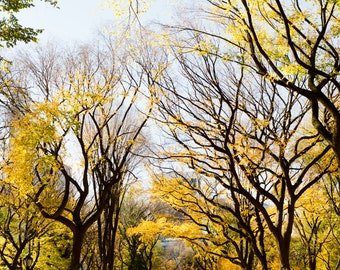 New York Photography, Central Park Art, Urban Nature Photography, Elm Tree Print, Manhattan Photography, Autumn in Central Park