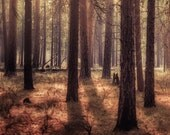 Trees in Woods,  nature Photography print 11 x 14