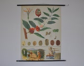 Coffee School Chart. RARE Original Pull Down School Chart. Mid Century Botanical Print.  Jung Koch Quentell. Germany. 1094