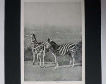 1901 Antique Natural History Print of Burchell's Zebras, Available Framed, Zebra Art, African Gift Conservation Decor Africa Safari Wall Art