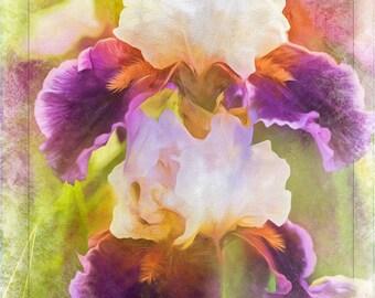 Painterly Bearded Iris Flower Photography Floral Print
