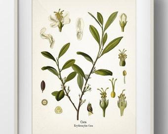 Coca (cocaine) - Erythroxylum Coca - KO-50- Fine art print of a vintage botanical natural history antique illustration