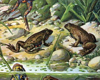 Gorgeous antique FROG color lithograph, 1960 vintage original amphibians engraving, frogs of pond plate illustration.