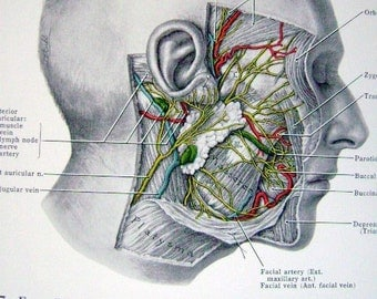 Antique Anatomy Medical (Front and Back Page)  Print of Facial Nerves and Muscles