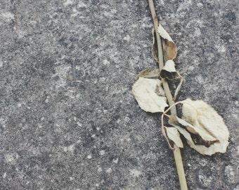 Dead Rose Print - A4