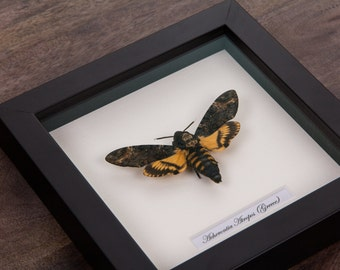 Deaths Head Hawk Moth in Black Wooden Frame | Acherontia Atropos | Real Framed Moth | Taxidermy