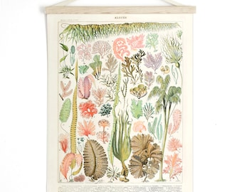 Pull Down Chart - Seaweed Coral by Millot. Pull Down Chart Reproduction. Algae Algues. Le Petit Larousse French encyclopedia - CP243CV