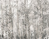 Snow Colorado Aspen Trees Snowy Winter White Forest Woods Rustic Cabin Lodge Photograph