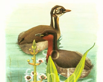 1961 Antique Grebe Print, Aquatic bird, Vintage Bird illustration, Bird wall art