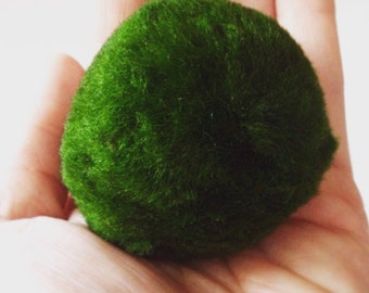Marimo Moss Ball Aquarium Plant