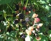 200 Blackberry Seeds Wild Blackberry Seeds Black Berries