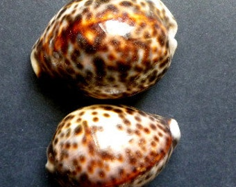 Tiger Cowry; Tiger Cowrie; 2.5 to 3.0 inches