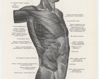 3 Anatomy Pages / Cutaneous Nerves of the Trunk from  Front & Right (765) / Text (766) / 1920's German Anatomy Book
