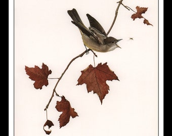 """Vintage Book Print 1968 Birds Of The Eastern Forest : Eastern Wood Pewee Single Page Wall Art Decor Print 9.5"""" x 13"""""""