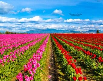 Tulips in White Mat