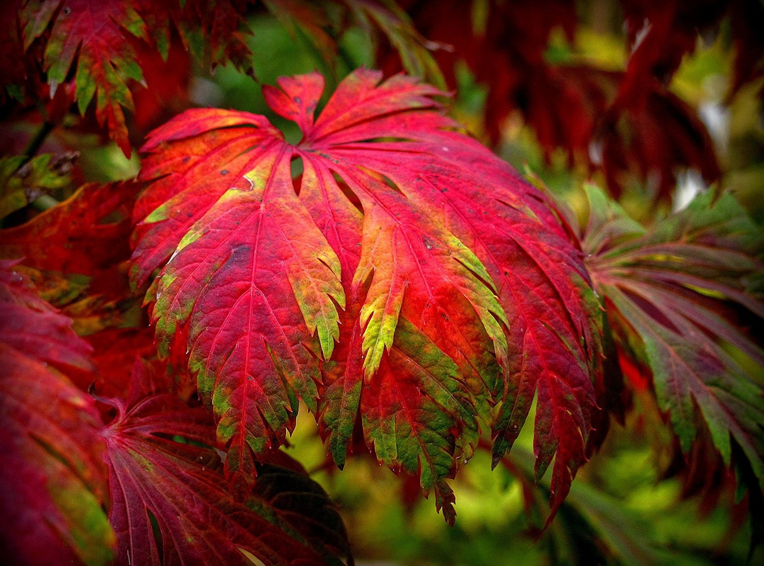 How to care for a fern leaf japanese maple - Dancing Peacock Fern Leaf Japanese Maple Japanese Maple Aconitifolium 3 Year Live Plant