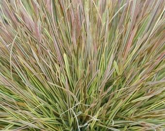 """Northern Lights Grass - 3.5"""" Pot"""