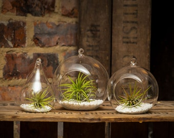 Trio of Hanging Glass Terrariums with Airplants (Large Ball, Medium Ball, Teardrop)