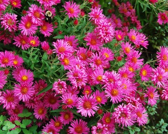 New England Aster (Symphyotichum Novae-angliae-Pink) - perennial plants - live plants - pink flowers - daisy flowers - fall flowers