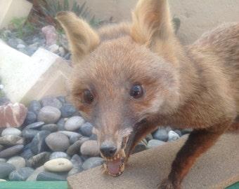 Taxidermy red fox