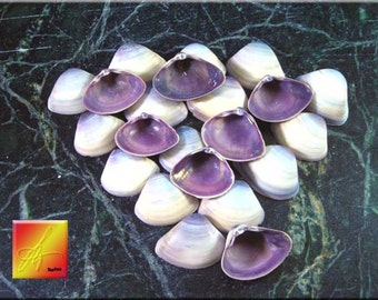 "Lot of 100 Purple Baby Clam Shells Seashells (1/2-3/4"") Sea Shell Crafts Beach"
