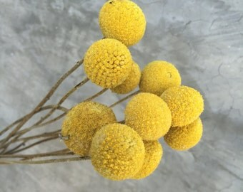 "Craspedia Natural, Dried billy balls, Dried Flowers, Wedding flowers, Home decor 18""-20"" tall"