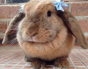Baby blue polka dot bows for bunnies, pet rabbit bows, pet rabbit accessories, pet rabbit clothing