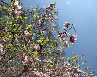 Magnolias en fleur (5/5)
