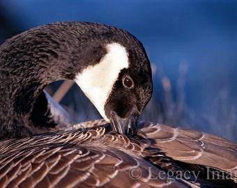 Animal Photography, Goose, Photo, Wildlife, Photography, Goose Photography, Animal, Photograph, Wall Art, Nursey Art, Bird, Canadian Goose