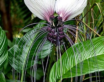 Tacca Integrifolia 10 Seeds, White Bat Garden Flower, House Plant