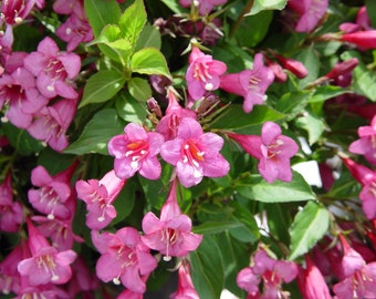 Weigela Florida Seeds, Old Fashioned Weigela, Hardy Garden Shrub Bush, Ornamental
