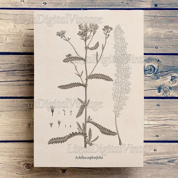Digital print vintage, Antique botanical illustration, Instant download botanical print, Yarrow, Botanical chart, Art print vintage, JPG PNG