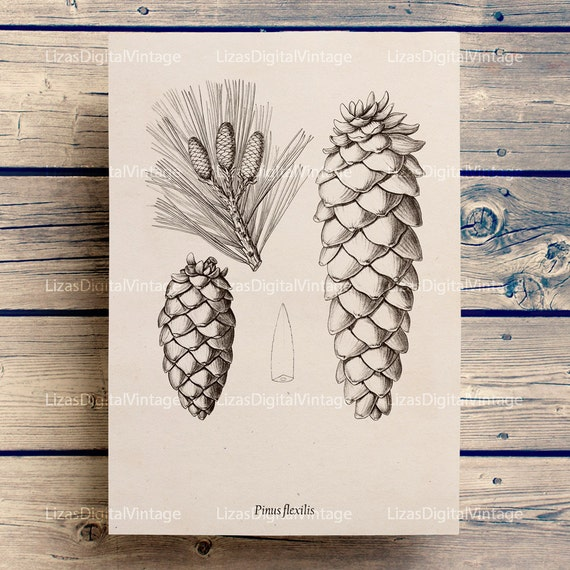 Vintage print, Printable art, Pine cone print, Botanical art, Art print, Large print art, Antique Art, Botanical digital, PNG JPG 300dpi
