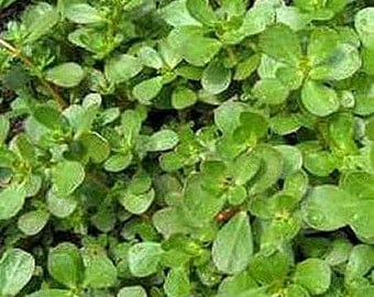Purslane Herb Seeds