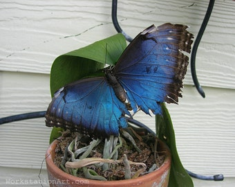Brilliant Blue Butterfly: Blue Morpho, Blue Butterfly Photo, Gift, Home Decor,  8x10 Photo