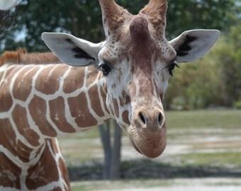 Giraffe 7.40 MB