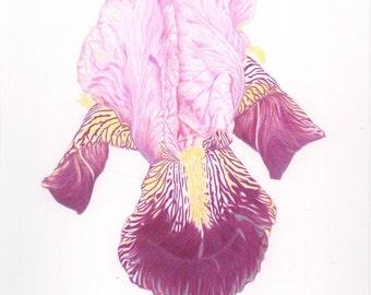Iris Print (from an original drawing)