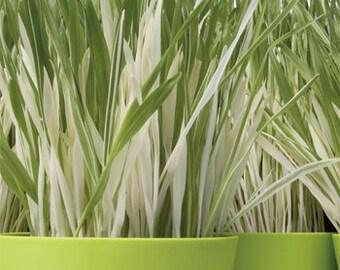 Variegated Cat Grass Seeds/Hordeum Vulgare/Annual    50+