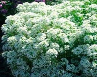 Tiny Tim White Alyssum Flower Seeds/Annual  60+