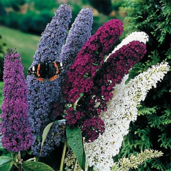 Butterfly Bush Mix Flower Seeds Buddleia By Myflowergrounds