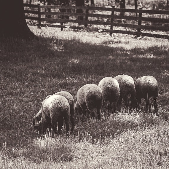 Sheep Line Photograph - Fine Art Print - Home Wall Decor - Square Photo - Farm House - Rustic Wall Art - Animal Pictures - Country - Gifts