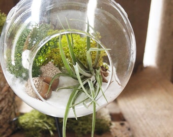 Air plant terrarium kit with acorns ; unique gift; tillandsia; air plant;terrarium;office decor