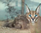 Blue Eyes Caracal - Caracal photo - Big Cat - Wild Cat - Cat Print - Nature Print - Cat Photo - Animal photography - Wildlife photography