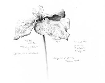 Trillium, Botanical Print, Flower Drawing, Flower Sketch