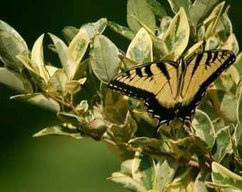 Eastern Tiger Swallowtail Butterfly Print