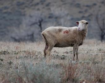 Sheep No. 10 - landscape photograph - wyoming travel nature art country rural farm ranch