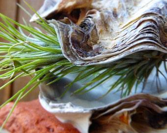 Airplant/tillandsia shell planter