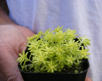 Yellow sedum japonica Tokyo Sun Ground Cover Succulent Fairy Garden Plant