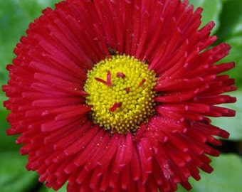 30+ Red Bellis English Daisy / Self-Seeding Annual Flower Seeds