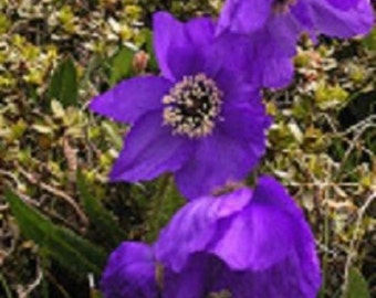 30+ Violet Poppy / Mesconopsis / Perennial Flower Seeds